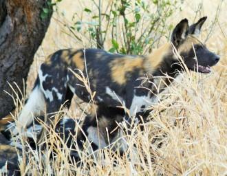 Tarangire - African Wild Dog