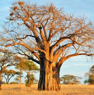 Tarangire - Baobab Tree