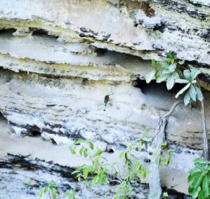 Turquoise browed motmot in Yucatan