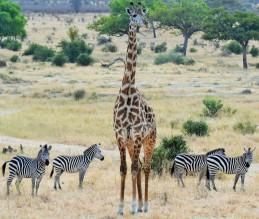 Tarnagire - zebra with giraffe